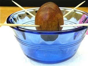 avocado set-up